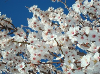 almond tree flowering