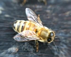 bee closeup