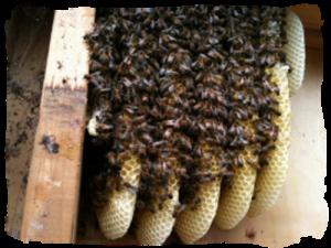 bee nest in wall cavity