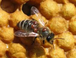 multi varroa on bee