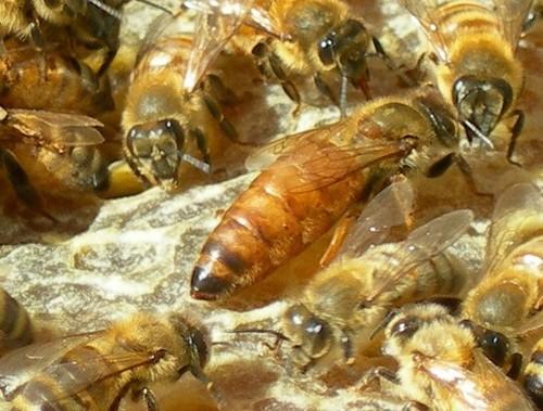queen bee 4