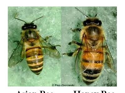 asian vs honey bee