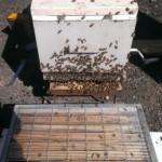 bee at hive entrance 2